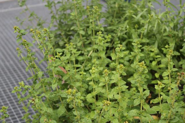 Kräuter aus meinem Kräutergarten
