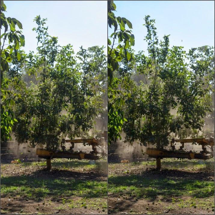 Eine Schüttelmaschine rüttelt mit ihren Greifarmen so lange an den Bäumen, bis die Walnüsse herunterfallen