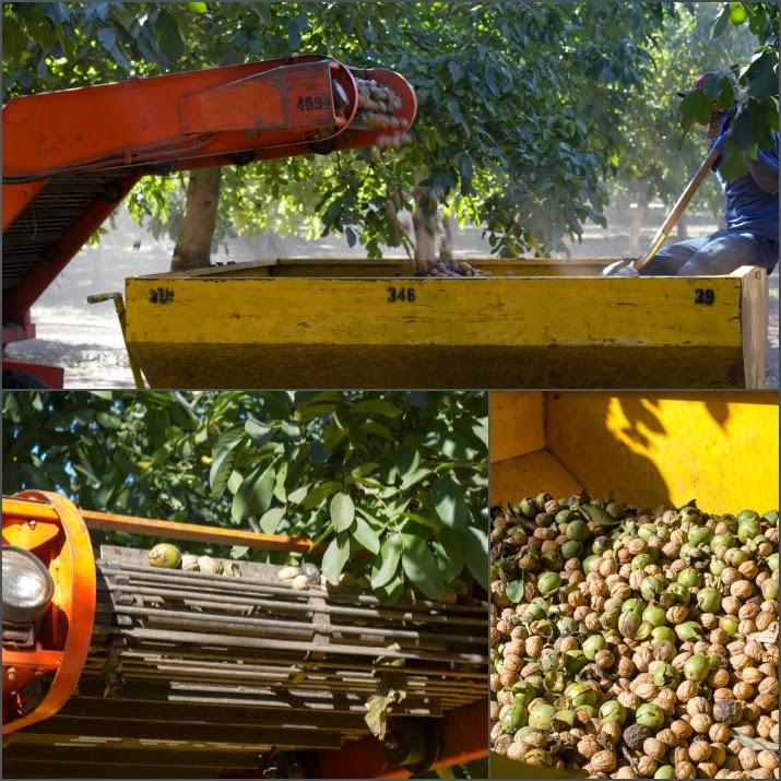 Eine weitere Maschine befördert die Walnüsse vom Boden über ein Förderband in große Container