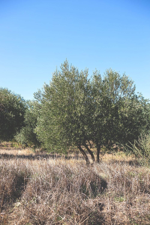 Olivenbaum in der Provence | moeyskitchen.com